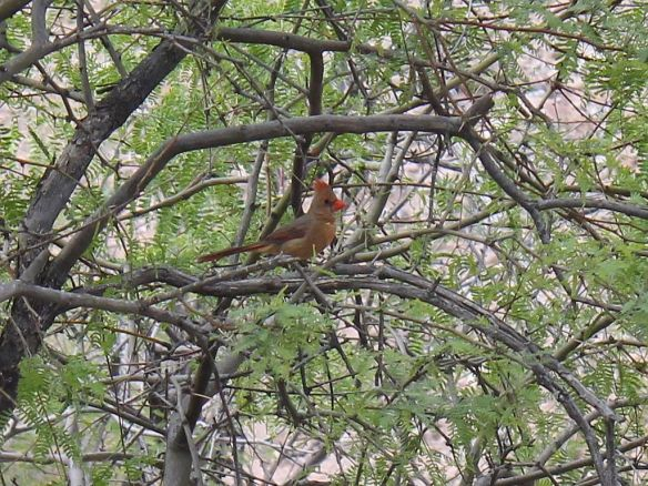 female-cardinal-in-mesquite-tree